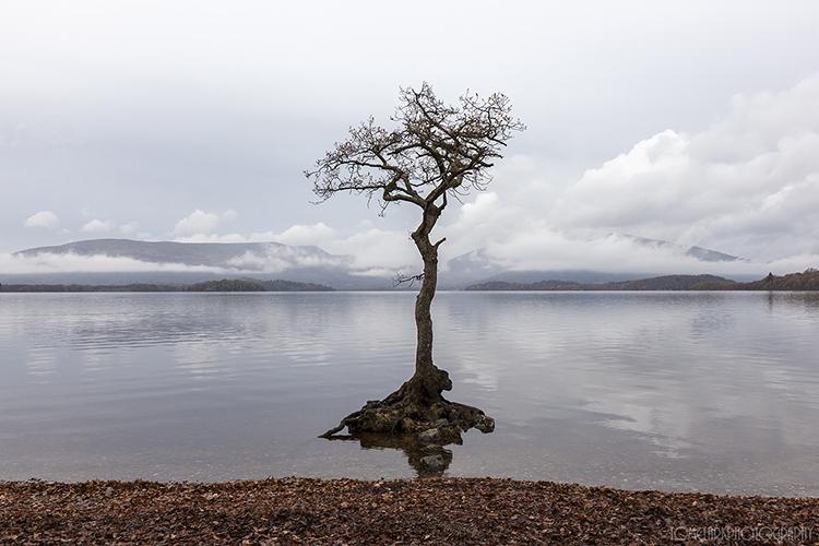 the milarrochy tree.