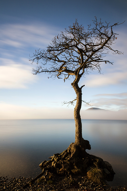 milarrochy tree