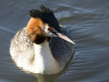 Great Crested Grebe 01
