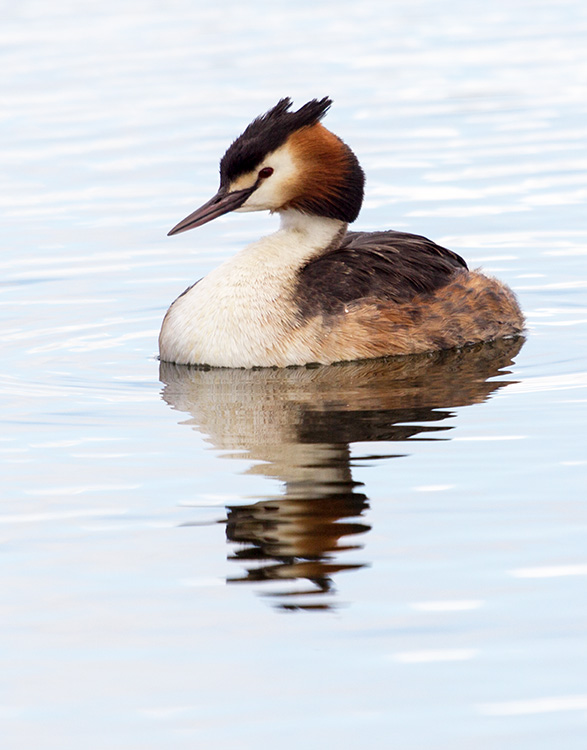 Great Crested Grebe 02