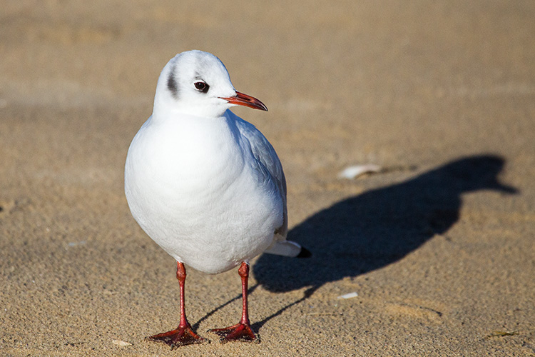 Black Headed Gull 02