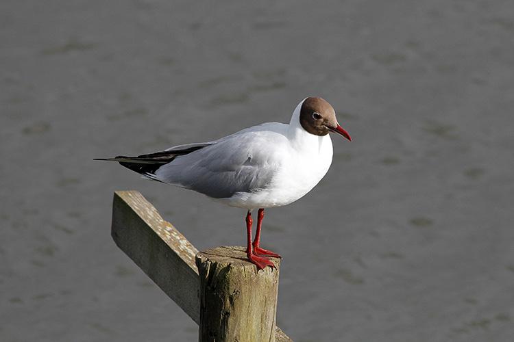 Black Headed Gull 05