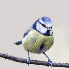 Blue Tit 07