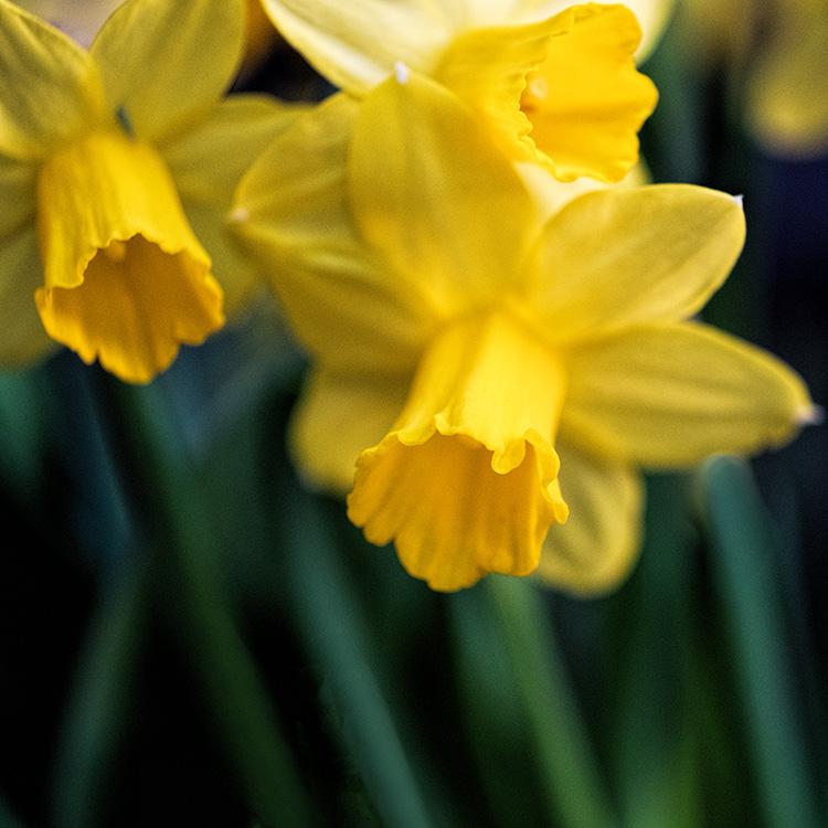 dafo1 Daffodil