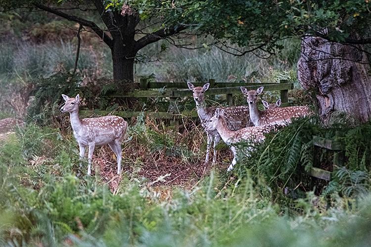fd05 Fallow Deer