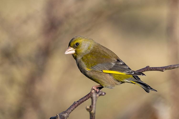 Greenfinch 01