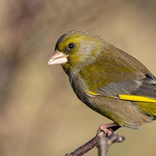 Greenfinch 01