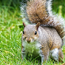 gs01 Grey Squirrel