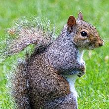 gs02 Grey Squirrel