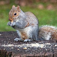gs03 Grey Squirrel