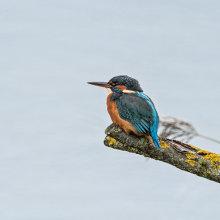 Kingfisher 01