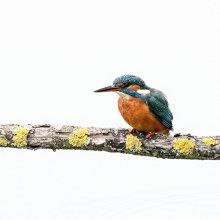 Kingfisher 02