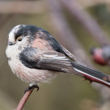 Long Tailed Tit 01