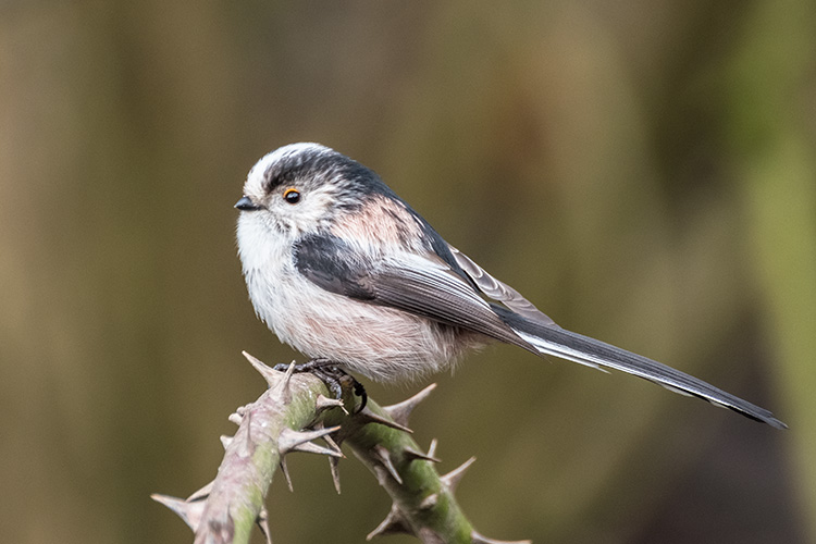 Long Tailed Tit 02