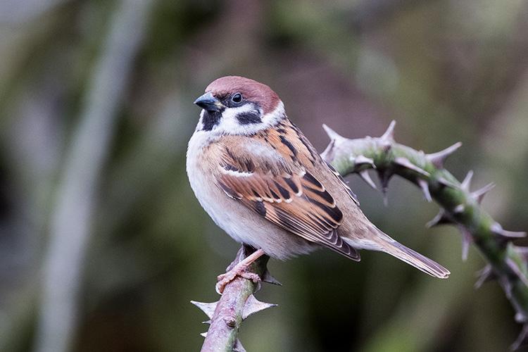 Tree Sparrow 01