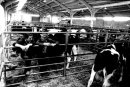 Carmarthen Cattle Mart