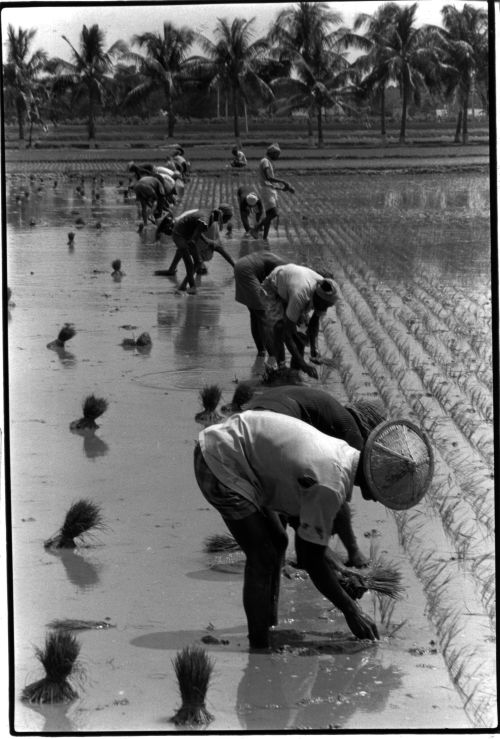Transplanting rice seedlings on a government farm