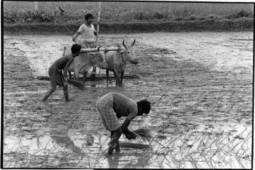 Transplanting rice seedlings