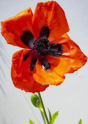 16.Poppy in the rain 1/5