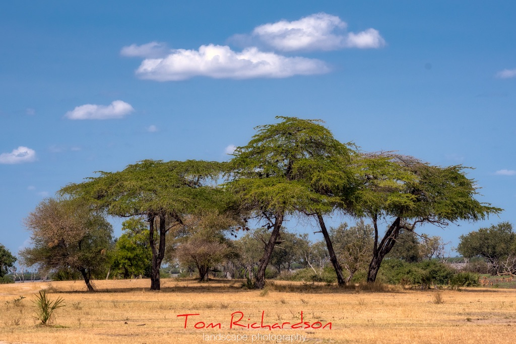 acacia trees in the selous