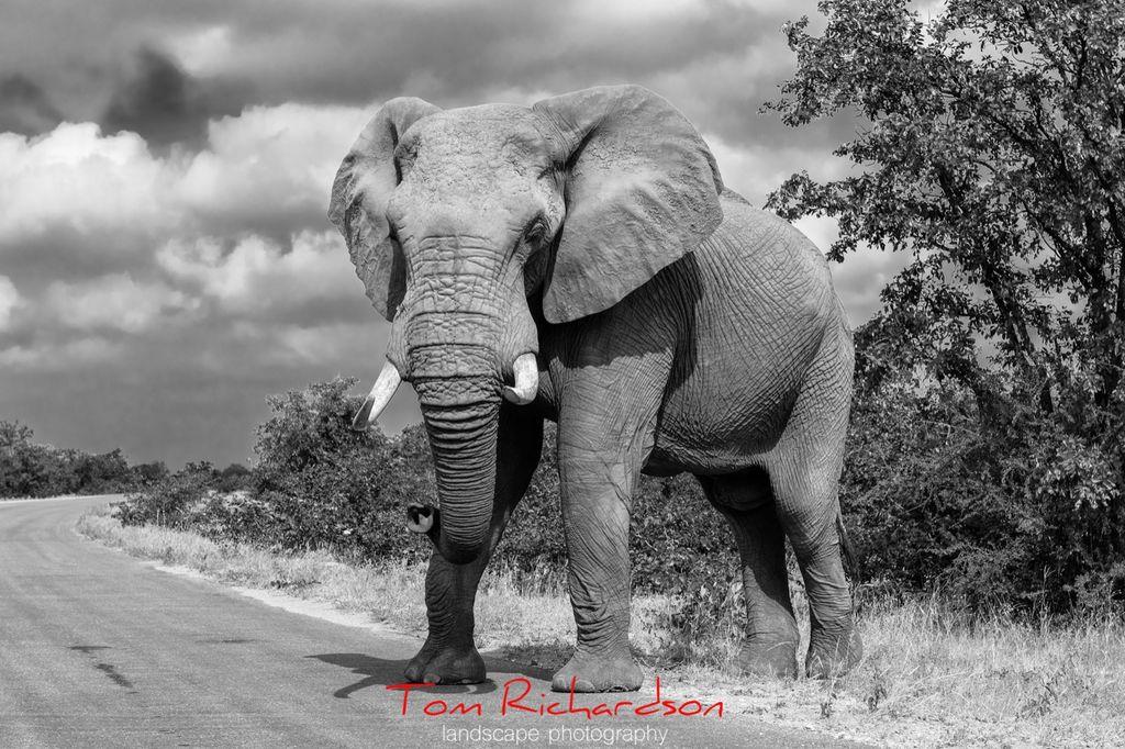 African Elephant Kruger