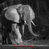 african elephant  tanzania