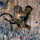 Chacma Baboons-2