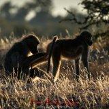 Chacma Baboons-3