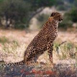 Cheetah-2