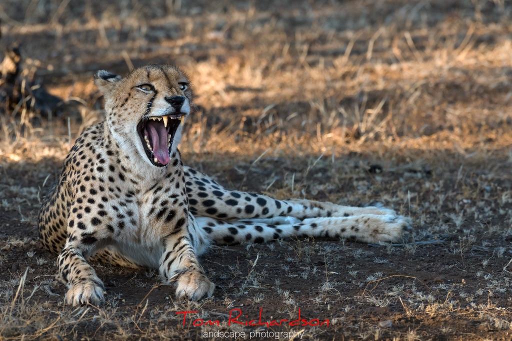 Cheetah at Mashatu