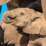 Elephants at the Matabole Hide-4