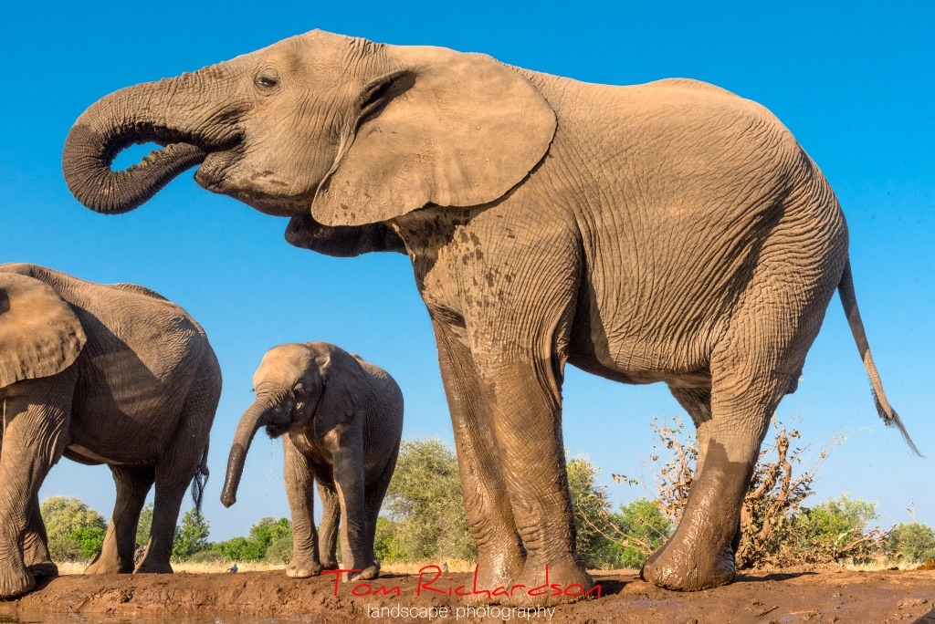 Elephants at the Matabole Hide-5
