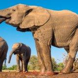 Elephants at the Matabole Hide-5