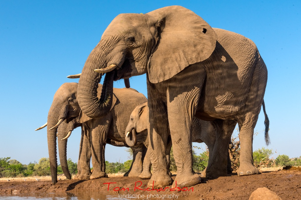 Elephants at the Matabole Hide-6
