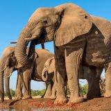 Elephants at the Matabole Hide-6