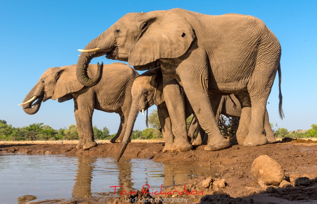 Elephants at the Matabole Hide-7