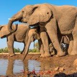 Elephants at the Matabole Hide-7