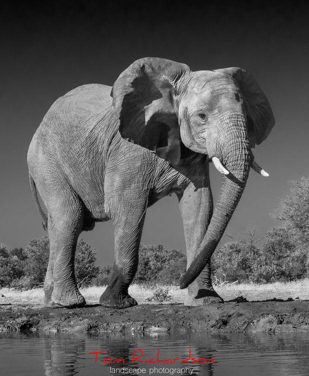 Elephant at Mashatu