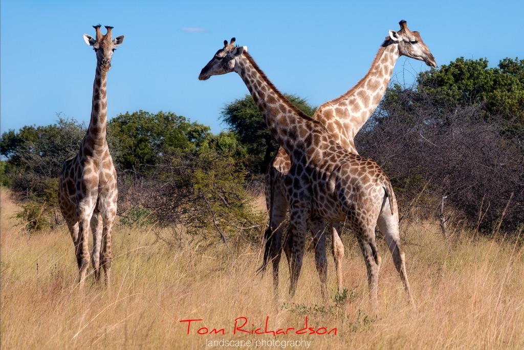 giraffe hwange national park