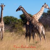 giraffe hwange national park