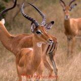 watchful impala