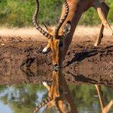 Impala at Matabole Hide