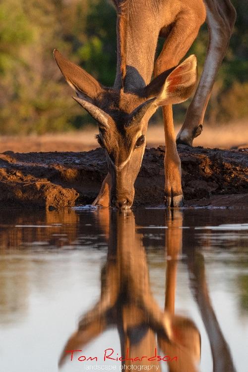 Young Kudu at Mashatu