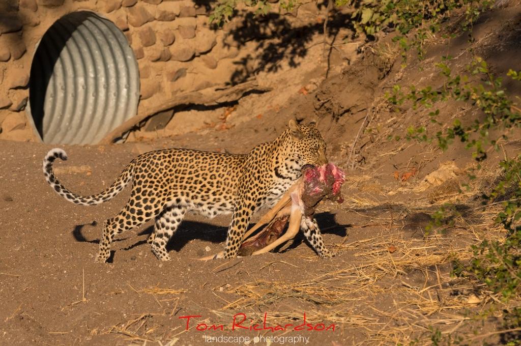 Leopard and kill
