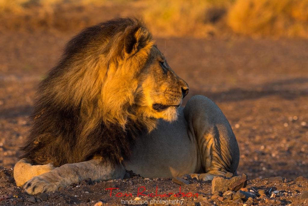 Male Lion Mashatu-2
