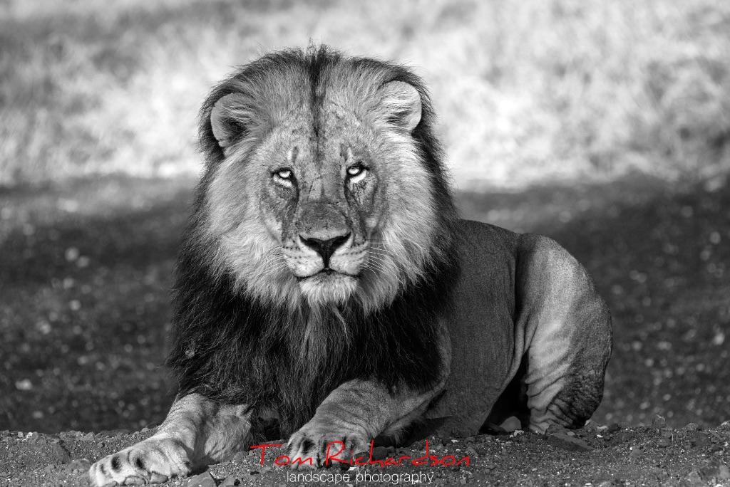 Male Lion Mashatu Game Reserve