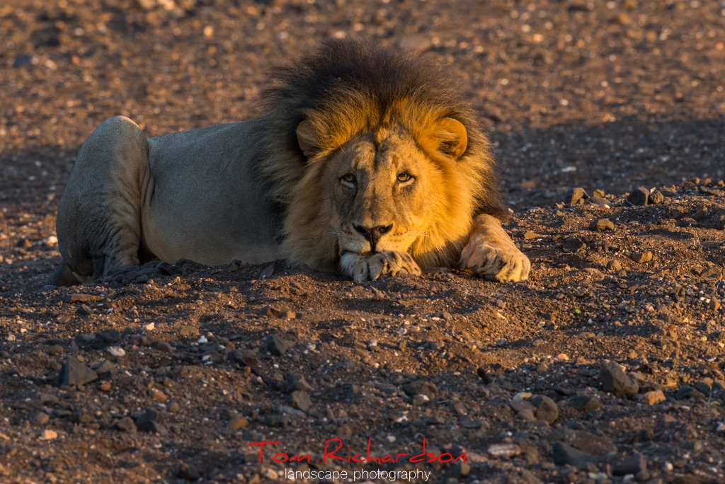 Male Lion Mashatu-3