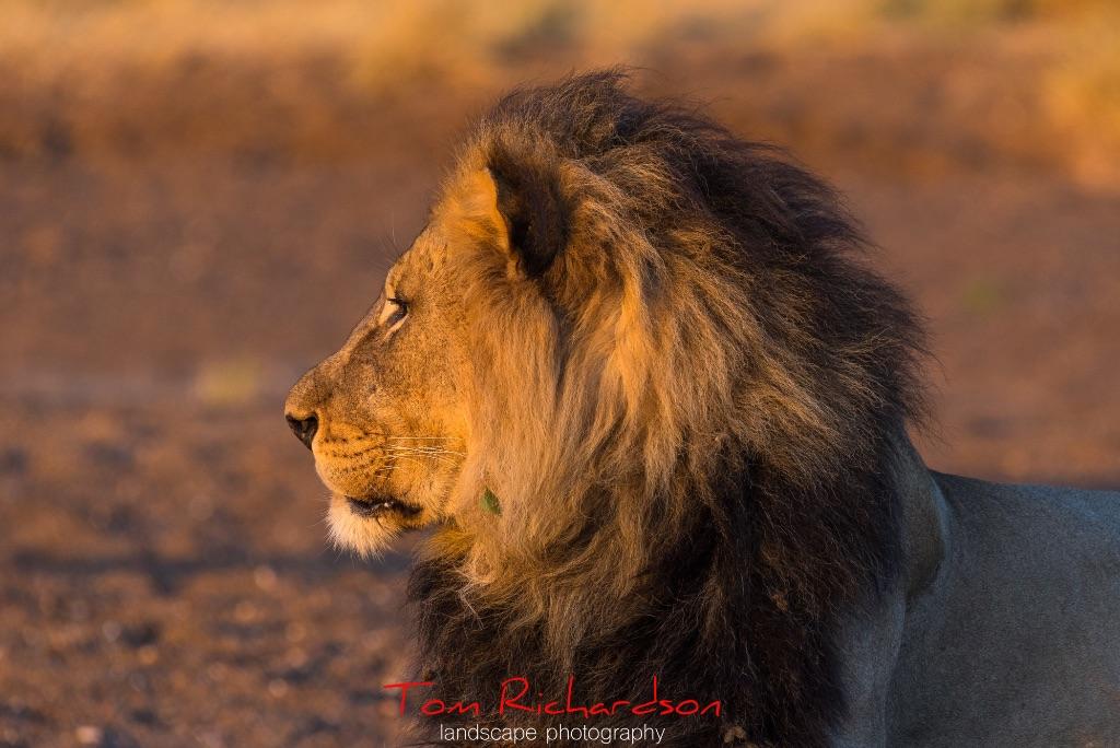 Male Lion Mashatu