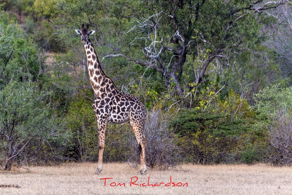 masai giraffe the selous