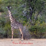 masai giraffe the selous